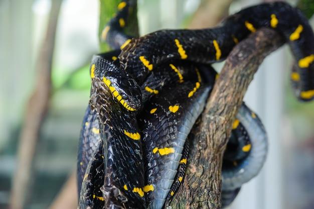 Namorzynowy wąż odpoczywa na drzewie. farma węży w tajlandii