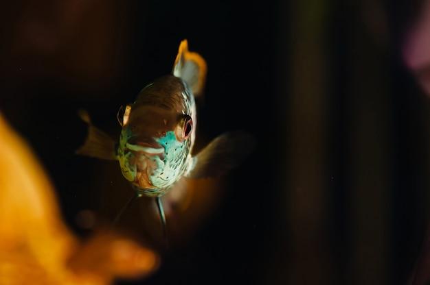 Nannacara. błękitna ryba unosi się w domowym akwarium zakończeniu.