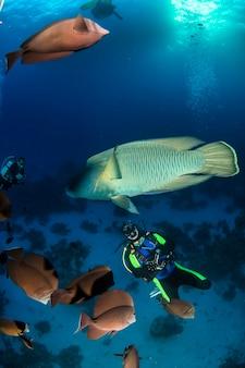 Napoleon ryba lub wargacz (cheilinus undulatus) pod wodą w oceanie. życie morskie pod wodą w błękitnym oceanie. obserwacja świata zwierząt. przygoda z nurkowaniem w morzu czerwonym, wybrzeże afryki