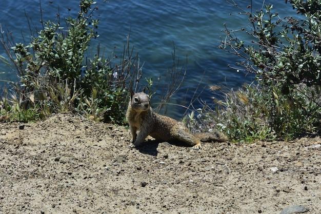 Naprawdę urocza głupia wiewiórka wzdłuż wybrzeża morro bay w kalifornii.