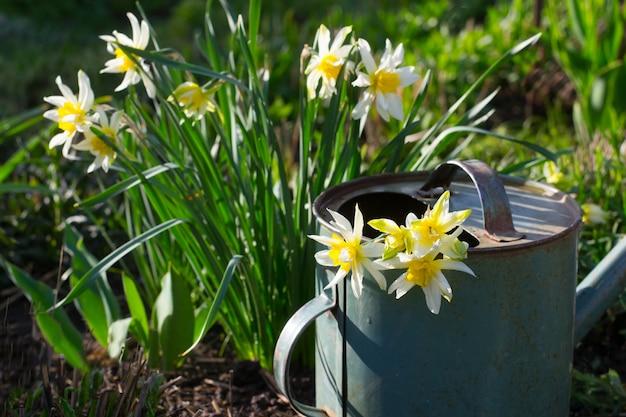 Narcyz w konewce w wiosennym ogródzie