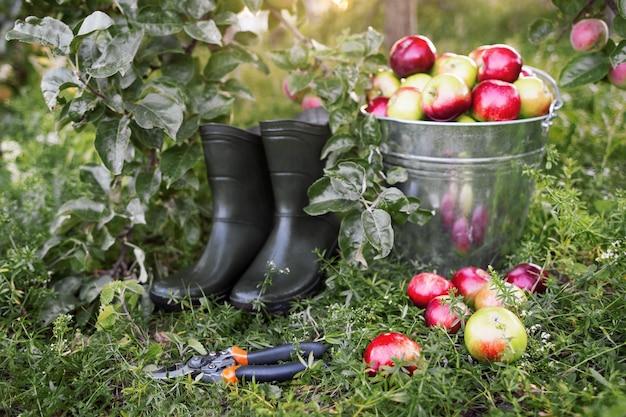 Narzędzia ogrodnika i widok z boku dojrzałe jabłka.