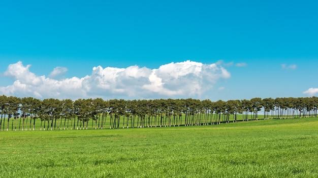 Nasadzenia sosny na zielonych polach uprawnych