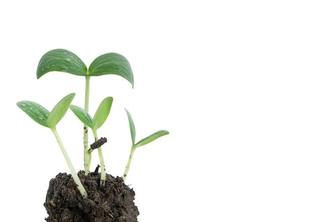 Nasiona kiełkują z gleby