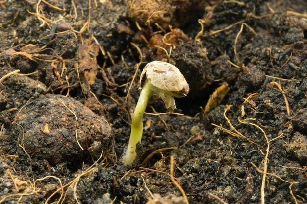 Nasiona marihuany rosną w glebie