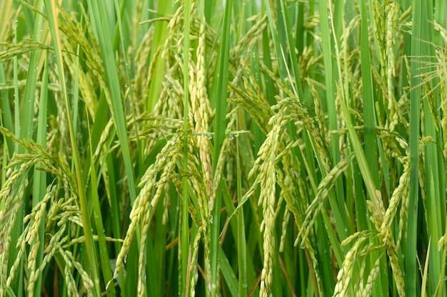Nasiona młodych upraw ryżu