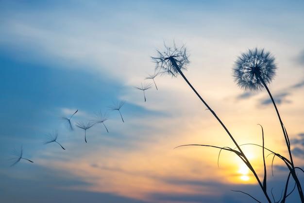 Nasiona mniszka lecą na tle zachodzącego nieba. kwiatowa botanika natury