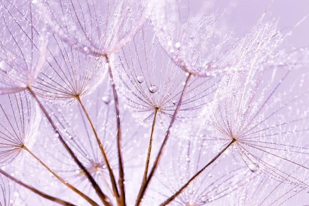Nasiona mniszka lekarskiego w kroplach rosy na pięknym tle.