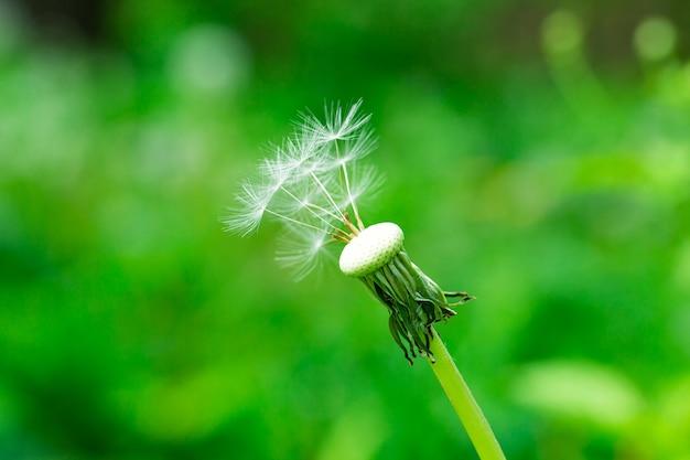 Nasiona mniszka lekarskiego w porannym słońcu wieje przez świeże zielone tło