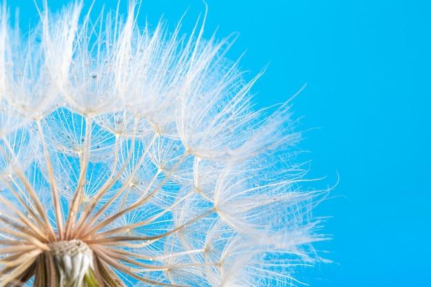 Nasiona mniszka lekarskiego z bliska dmuchanie na niebieskim tle