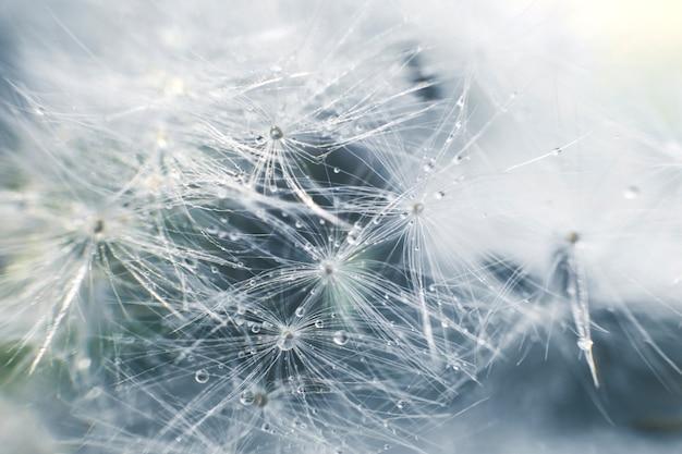 Nasiona mniszka lekarskiego z kroplami wody na niebieskim tle z bliska
