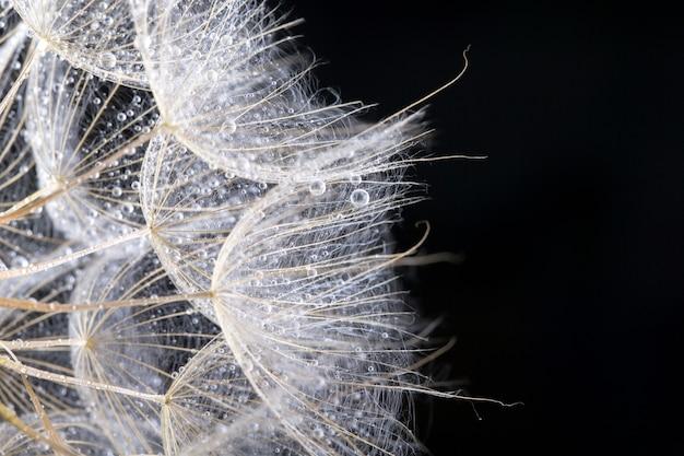 Nasiona mniszka w kolorze czarnym. makro natury.