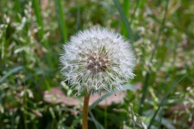 Nasiona mniszka wśród trawy na łące w porannym słońcu, naturalne tło