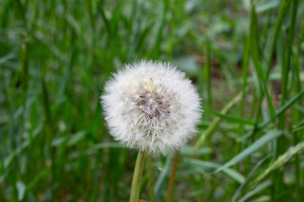 Nasiona mniszka wśród trawy na łące w porannym słońcu