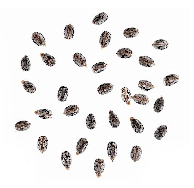 Nasiona rącznika na białym tle
