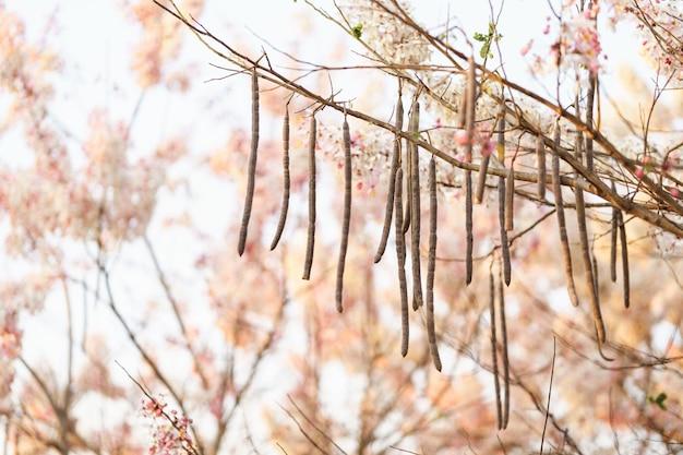 Nasiona różowych kwiatów nazywane są kwiatem kalapapruek lub drzewem życzeń w ogrodzie