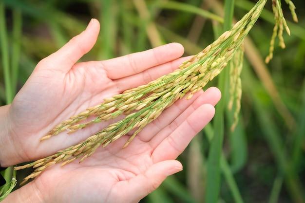 Nasiona ryżu niełuskanego w rękach kobiet, ryż jaśminowy w tajlandii