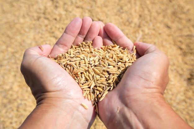 Nasiona ryżu w ręku rolnika