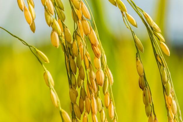 Nasiona ryżu