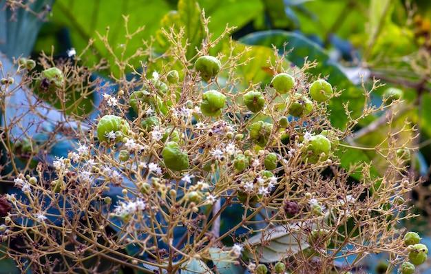 Nasiona teku (tectona grandis), ułożone w gęste grona na końcach gałęzi, w gunung kidul, yogyakarta, indonezja