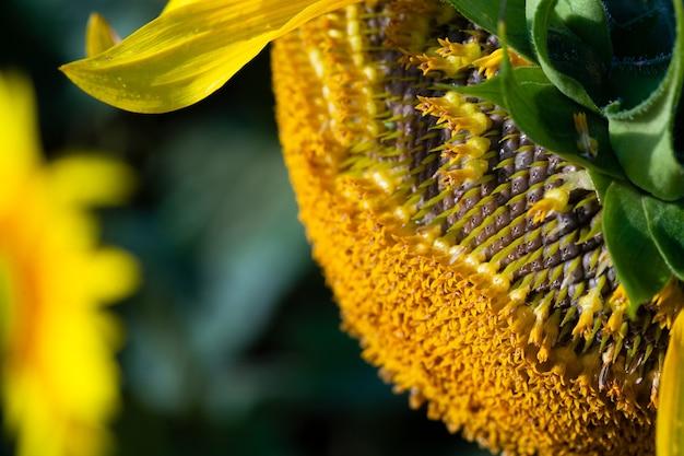 Nasiona w zwiędłym słoneczniku na polu latem