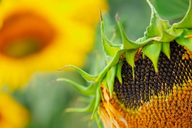 Nasiona w zwiędłym słoneczniku na polu w okresie letnim