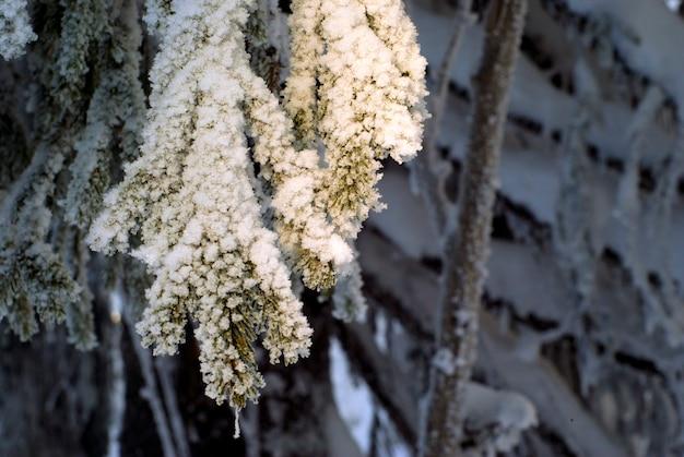 Nasłonecznione końce gałęzi jodłowych pokryte śniegiem i mrozem