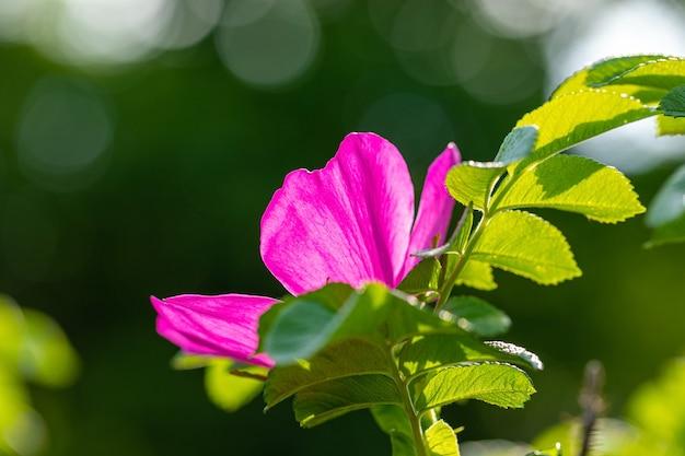 Nasłoneczniony różowy kwiat dzikiej róży z bokeh. naturalne piękno natury. kwitnąca zieleń. selektywny fokus na kwiat dzikiej róży. mały kąt.