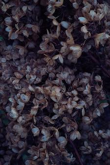 Nastrojowa ciemna kwiecista fotografia z mało wysuszonymi kwiatami hortensji na ciemnym suchym brązowym tle