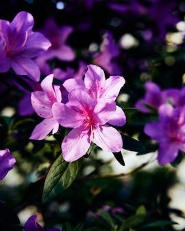 Nastrojowe kwiaty azalii, duże różowe pąki