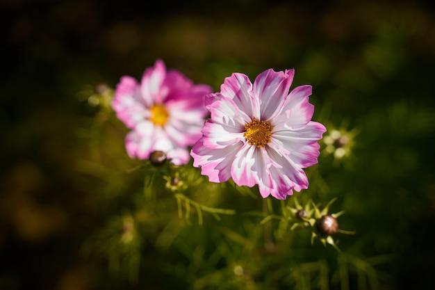 Nastrojowe kwiaty maku, duże czerwone pąki na ciemnozielonym
