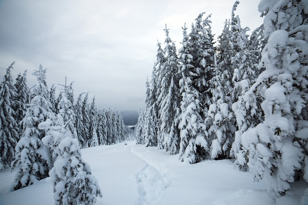 Nastrojowy zimowy krajobraz świerkowego lasu pokryty głębokim białym śniegiem w zimnych, zamarzniętych górach.
