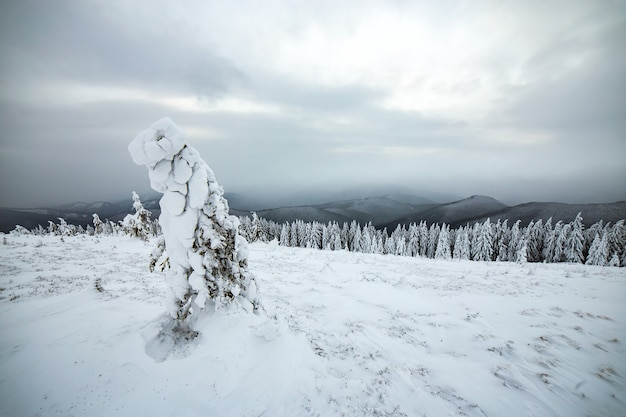Nastrojowy zimowy krajobraz świerkowych lasów pokrytych głębokim białym śniegiem w mroźnych, zamarzniętych górach.
