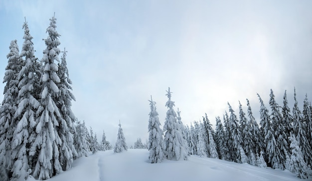 Nastrojowy zimowy krajobraz świerkowych lasów pokrytych głębokim białym śniegiem w zimnych, zamarzniętych górach.