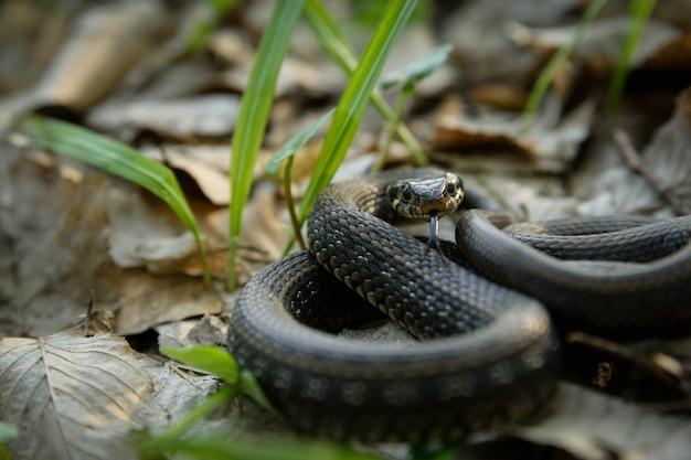 Natrix, snake, colubridae w lesie, z bliska.