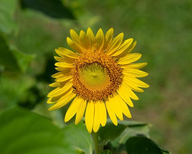 Natura, kwiat, tło, z bliska kwiat słońca.