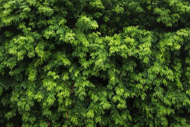 Natura li? ci zielonych li? ci i teksturowanej, li? ci? ciany na tle