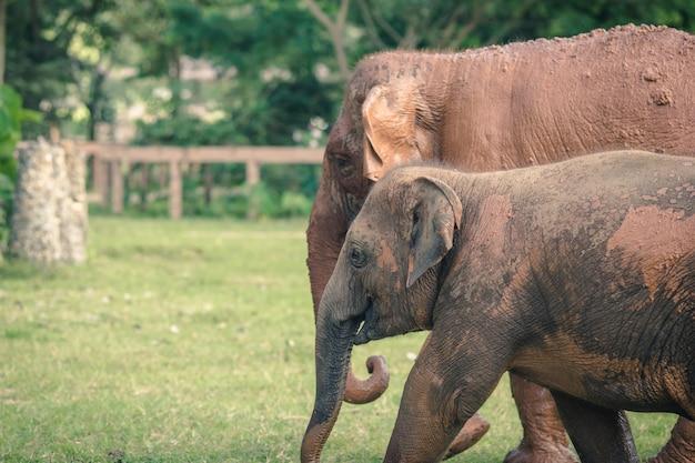 Natura słoń w lesie tajlandia