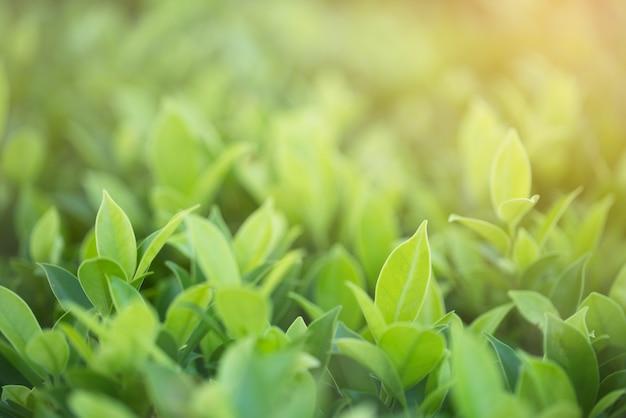 Natura widok zielony liść w ogródzie przy latem pod światłem słonecznym. naturalne zielone rośliny