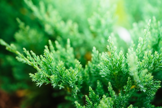 Natura zielona tekstura tło jałowca wiecznie zielonego iglastego jałowca zielona gałąź z bliska