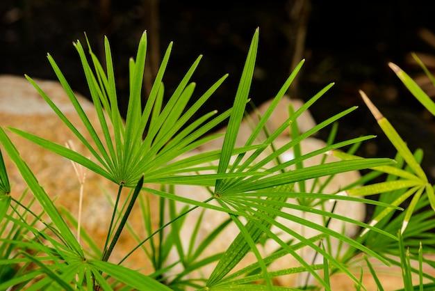 Natura zielony liść damy palma w ogródzie (rhapis exclesa plamae)
