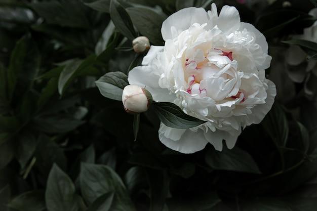 Naturalna biała piwonia wśród liści kopiuje przestrzeń