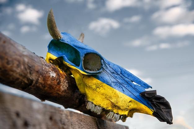 Naturalna czaszka krowy na drewnianym płocie z flagą ukrainy. z przodu zakładana jest ochronna maska medyczna