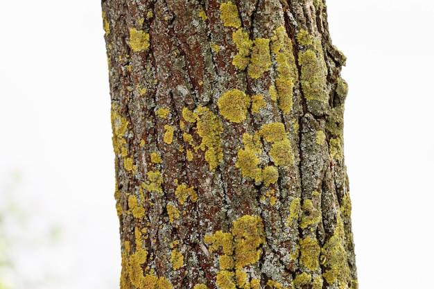 Naturalna drewniana tekstura. kora drzewa
