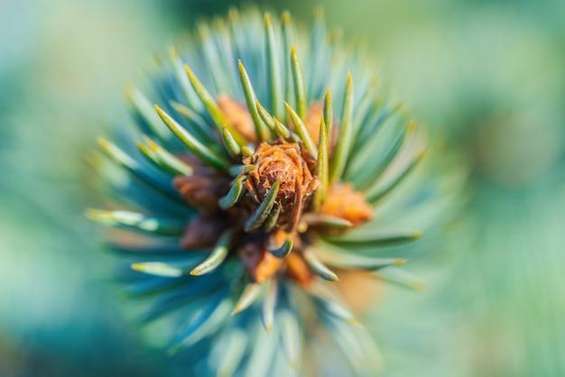 Naturalna gałąź boże narodzenie niebieski świerk z igłami rosnącymi w lesie xmas. fotografia makro, ekstremalne zbliżenie miękkie, przewiewny widok na świerk colorado. selektywny nieostrość na pierwszym planie, rozmyty bokeh.