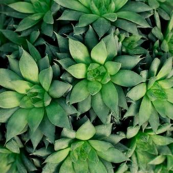 Naturalna organiczna tekstura. wzór zielony sukulenty