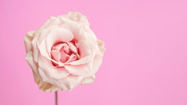 Naturalna różowa róża z miejsca kopiowania