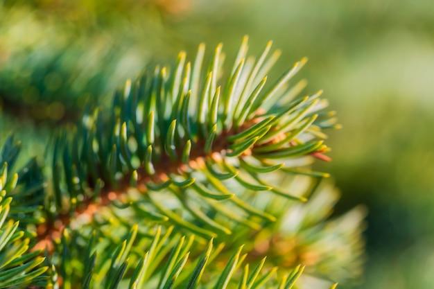 Naturalna sosna gałąź choinka z igłami rosnącymi w lesie w słoneczny dzień. makro strzał, zbliżenie miękki i przewiewny widok zielonego świerku. selektywny nieostrość na pierwszym planie, rozmyte bokeh na tle.
