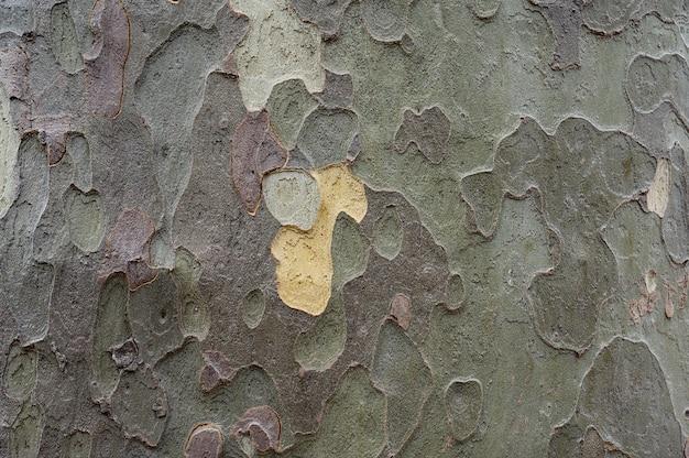 Naturalna stara tekstura kory drzewa, abstrakcyjna wielokształtna powierzchnia dużego drzewa jesienią