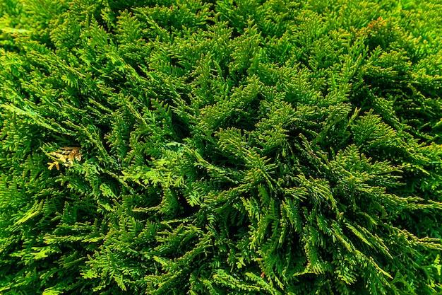 Naturalna tekstura tła. selektywne rozmycie ostrości. zimozielone drzewo iglaste z rodziny cypress z rodzaju thuja, naturalnie występujące we wschodnich rejonach ameryki północnej. projektowanie krajobrazu.